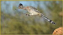 A Roadrunner leaping from a rock
